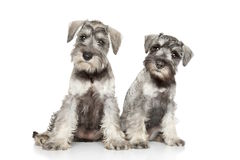 Miniature schnauzer puppies on white background Stock Images