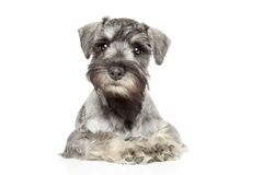 Miniature schnauzer puppy. On white background royalty free stock photos