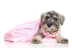 Miniature schnauzer puppy. In a pink dress Royalty Free Stock Photo