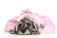 Miniature schnauzer puppy. In a pink dress Royalty Free Stock Photos