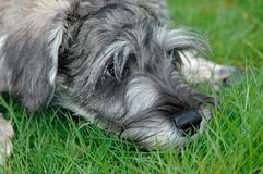 Miniature Schnauzer Puppy Royalty Free Stock Images
