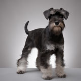 Miniature Schnauzer puppy. Miniature Schnauzer five months old royalty free stock photo