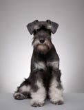 Miniature schnauzer puppy. Five month old miniature schnauzer puppy Stock Images