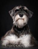 Miniature schnauzer puppy Stock Photo