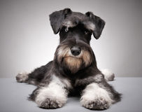 Miniature schnauzer puppy royalty free stock photography