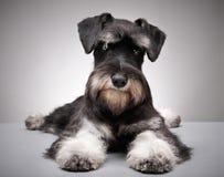 Miniature schnauzer puppy. Portrait of Miniature schnauzer puppy Royalty Free Stock Photography