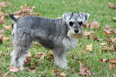 Miniature Schnauzer Puppy. Standing in green grass Royalty Free Stock Photo