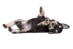 Miniature schnauzer puppy royalty free stock photo
