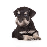 Miniature schnauzer puppy. Black miniature schnauzer puppy on white Royalty Free Stock Photography