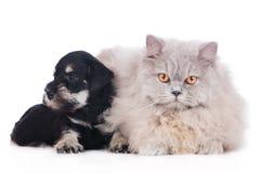 Miniature schnauzer puppy with a cat Stock Photos