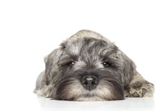 Miniature schnauzer puppy. Close-up. Portrait on a white background Royalty Free Stock Photo