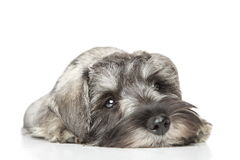 Miniature schnauzer puppy. Close-up. Portrait on a white background Stock Photo