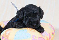 Miniature Schnauzer puppy on cushion Stock Photography