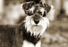 Miniature Schnauzer puppy dog sepia portrait Royalty Free Stock Photography