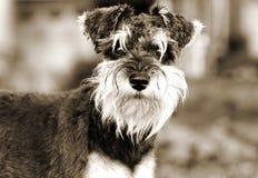 Miniature Schnauzer puppy dog sepia portrait royalty free stock photography