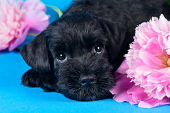 Miniature Schnauzer puppy among flowers. Miniature Schnauzer puppy lying among flowers royalty free stock photo