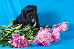 Miniature Schnauzer puppy among flowers Royalty Free Stock Photography