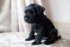 Miniature Schnauzer puppy Stock Photography