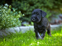 Miniature schnauzer puppy. In a green grass Royalty Free Stock Photos