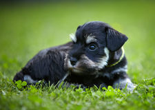 Miniature schnauzer puppy. In a green grass Stock Image