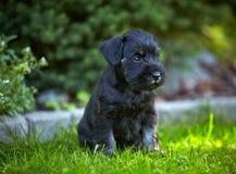 Miniature schnauzer puppy Royalty Free Stock Image