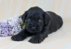 Miniature Schnauzer puppy with lilac stock image
