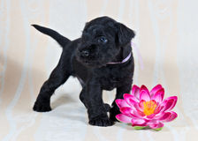 Miniature Schnauzer puppy with lily royalty free stock images