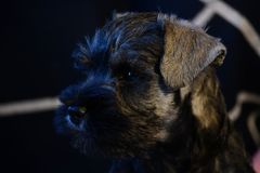 Miniature Schnauzer puppy out of champion parents stock photography