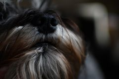 Miniature Schnauzer puppy out of champion parents royalty free stock photo
