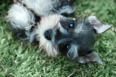 Miniature Schnauzer Puppy Outdoors Stock Images