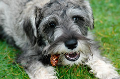 Miniature Schnauzer Puppy with Pinecone Stock Images