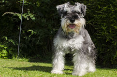 Miniature Schnauzer puppy playing in the garden. In the hot summer weather Stock Image