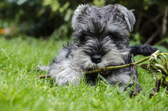 Miniature Schnauzer puppy playing in the grass. Mini schnauzer playing with sticks on the garden Stock Image