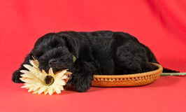 Miniature Schnauzer puppy sleeping with flower stock photo