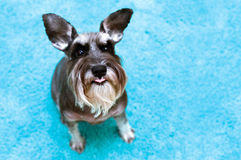 Miniature schnauzer with raised ears and tongue st Royalty Free Stock Photos