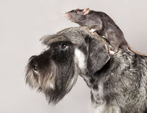 Miniature schnauzer and rat Royalty Free Stock Photo