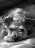 Miniature Schnauzer Stock Images