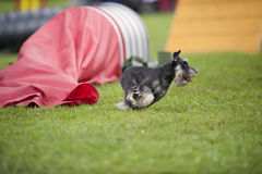 Miniature Schnauzer running on an outdoors agility competition close to the red tunnel royalty free stock photography