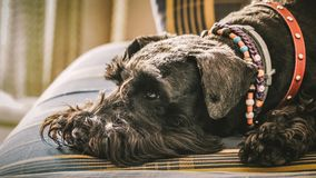 Miniature Schnauzer royalty free stock image