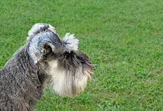 Miniature schnauzer side profile dog Stock Image