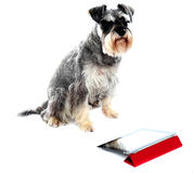 Miniature schnauzer sits on white background royalty free stock photos