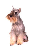 Miniature schnauzer sitting Stock Photography