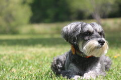 Miniature Schnauzer. Sitting in the grass, basking in the sun stock photos