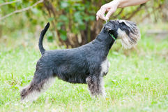 Miniature schnauzer sitting on stump. Miniature schnauzer stand in summertime in stands in the exhibition rack, handler`s hand holding the leash stock photos