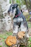 Miniature schnauzer sitting on stump royalty free stock photos