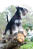 Miniature schnauzer sitting on stump Royalty Free Stock Photo