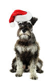 Miniature Schnauzer. A six month old salt and pepper minature schnauzer  against a white background wearing a Christmas hat Stock Image