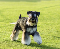 Miniature Schnauzer. A small black and silver Miniature Schnauzer dog walking on the grass, looking very happy. It is known for being an intelligent, loving, and royalty free stock photo