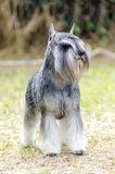 Miniature Schnauzer. A small salt and pepper, gray Miniature Schnauzer dog standing on the grass, looking very happy. It is known for being an intelligent royalty free stock photos