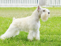 Miniature Schnauzer. A small white salt Miniature Schnauzer dog standing on the grass, looking very happy. Distinctive for their beard and long, feathery royalty free stock images